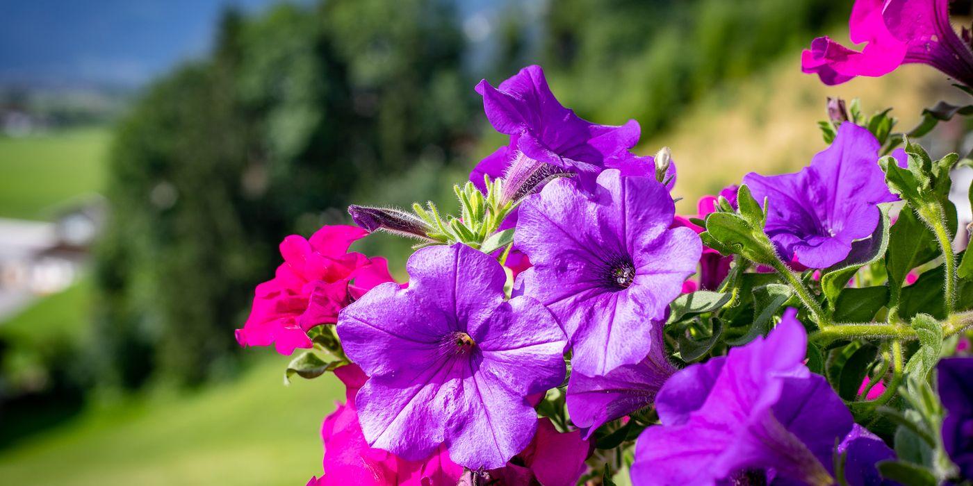Detailaufnahme violette Surfinien beim Landhaus Sonnblick